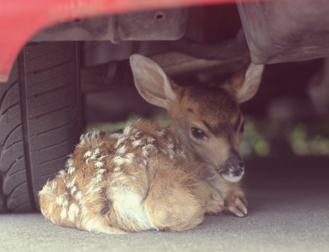 Gentle Fawn