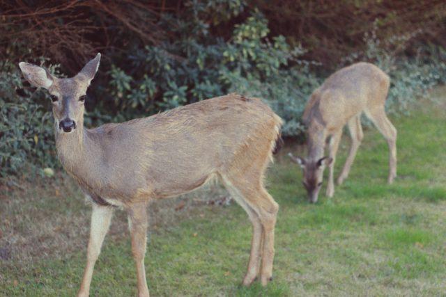 Deer, Victoria