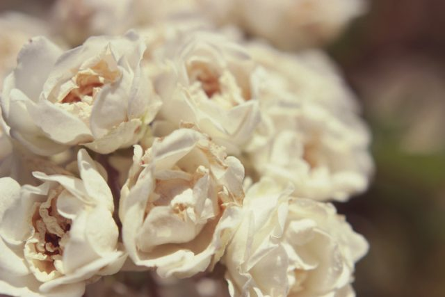 Macro Lense, White Roses
