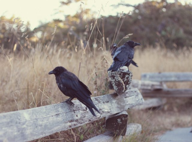 Crows, The Birds, Alfred Hitchcock