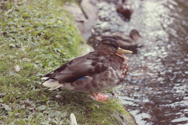 Duck, Beacon Hill Park, Victoria